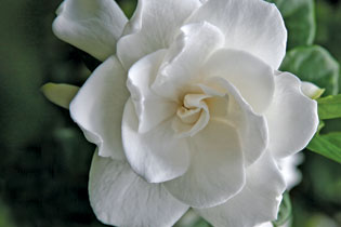 Gardenia-315x210